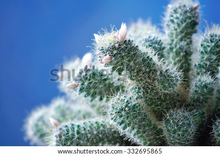 Mammillaria wildii cactus  - selective focus at the flower. Tones pastel processing. Shallow depth of field. Plant in the flowerpot on the blue background under natural light - stock photo