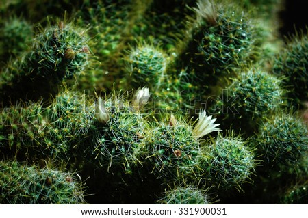 Mammillaria wildii cactus - selective focus at the foreground flower. Shallow depth of field. Plant on the black background under natural sunlight - stock photo