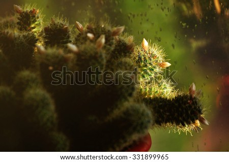 Mammillaria wildii cactus splattered with water - selective focus at the stem with two buds.  Plant in the flowerpot on the windowsill under natural sunlight. Shallow depth of field. - stock photo