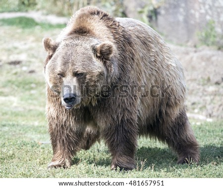 mammoth sized brown bear