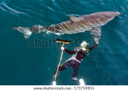 Man and Great White Shark. The swimmer with a mop near a Great white shark. - stock photo