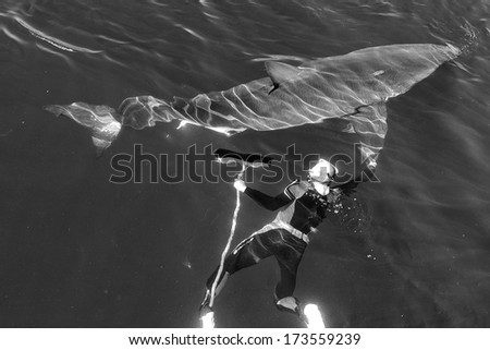 Man and Great White Shark. The swimmer with a mop near a Great white shark. Black and white photo.  - stock photo