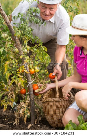 Man and woman picking organic tomatoes from the garden