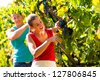 Man and woman - winegrower - picking grapes with shear at harvest time in the vineyard - stock photo