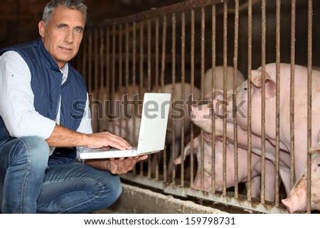 man breeding pigs - stock photo