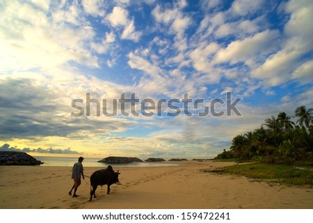 Man brought oxen walking on the beach