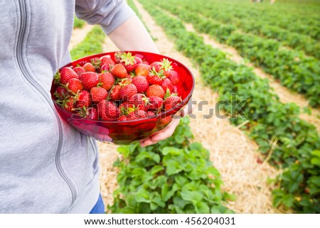 Man carrying a bowl of fresh strawberries on a strawberry field - stock photo