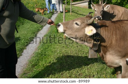 Man feeding a cow - stock photo