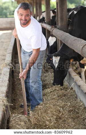 Man feeding cows - stock photo