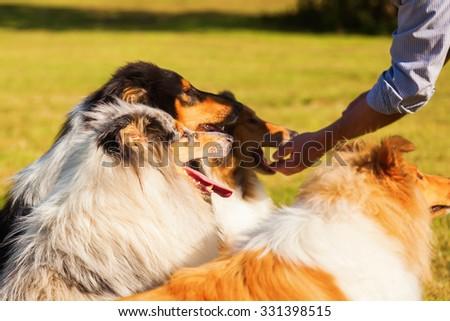 man feeding his Collie dogs - stock photo