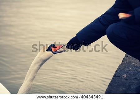 Man feeding swan - stock photo