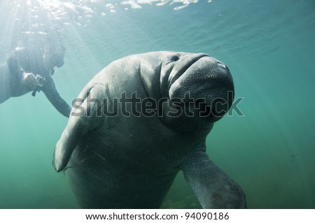 man filming a manatee in Homosassa spring, Florida - stock photo