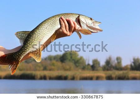 man hand holding pike - stock photo