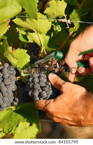 man hands harvesting grapes in french fields - stock photo