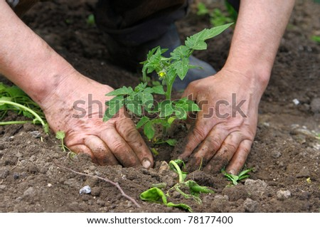 Man hands planting tomato seedlings - stock photo