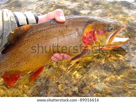 Man holding Cutthroat trout caught fly fishing against clear stream - stock photo