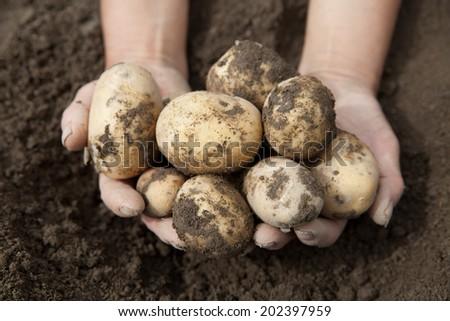 man holding dug potatoes - stock photo