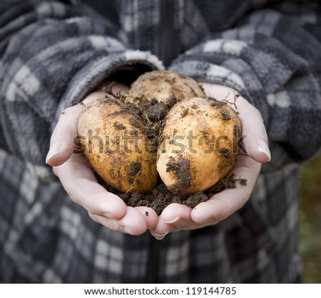 man holding freshly dug potatoes in hands - stock photo