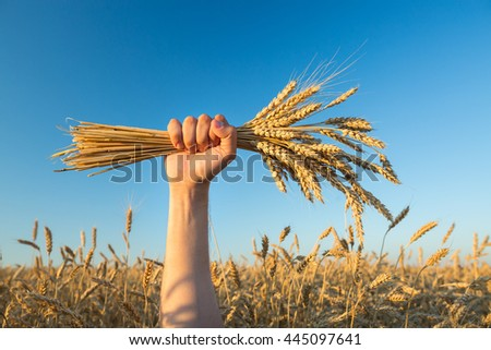 Man holds a ripe wheat . Man hands with wheat. Wheat field against a blue sky. wheat harvest in the field. ripe wheat closeup. - stock photo