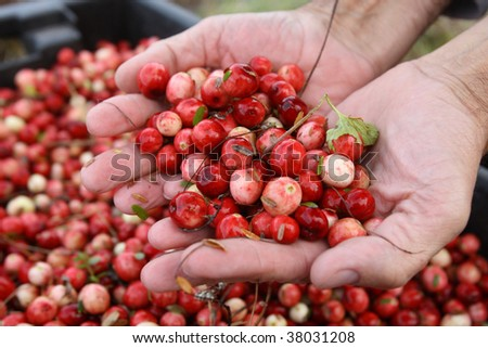 Man holds fresh ripe cranberries in hands - stock photo