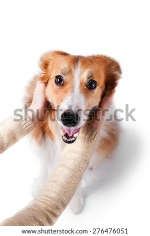 man hugging the red border collie dog, isolated on white - stock photo