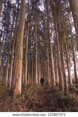 Man in a eucalyptus forest. The man is alone. - stock photo