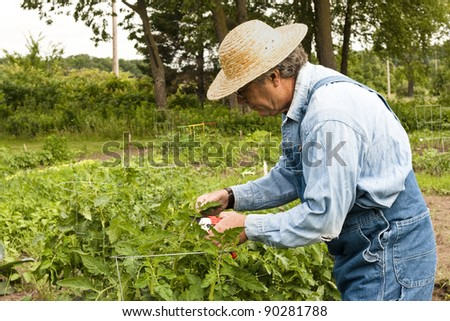 man in his garden pruning his tomato plants