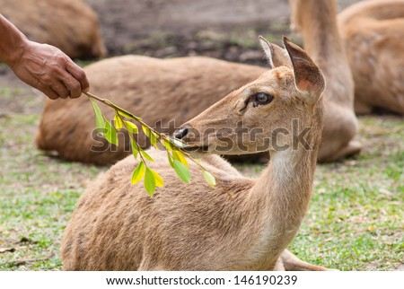 Man is  feeding a  fresh leaves to the antlered deer. - stock photo