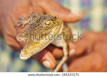 Man is holding baby crocodile in Sri Lanka.  - stock photo