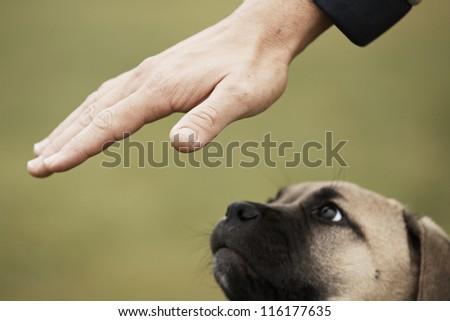 Man is training cane corso dog puppy - stock photo