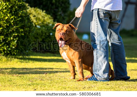 Man keeps american bully dog on the grass, The dog looks aggressive.