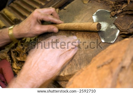 man making holding handmade freshly rolled cigars dominican republic tobacco - stock photo