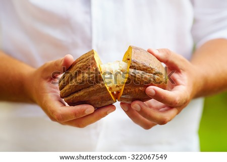 man opens ripe cocoa pod in hands, with beans inside - stock photo
