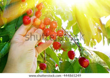 Man picking cherries on a sunny day