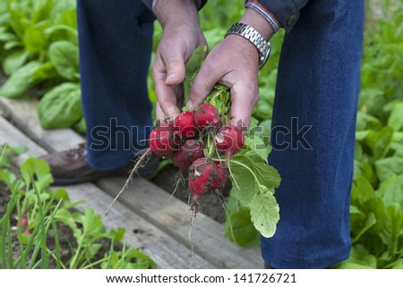 man picking fresh radish.   senior working in vegetable garden.