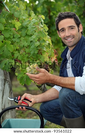 Man picking grapes during the grape harvest - stock photo