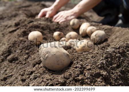 man picking potato in the vegetable garden - stock photo
