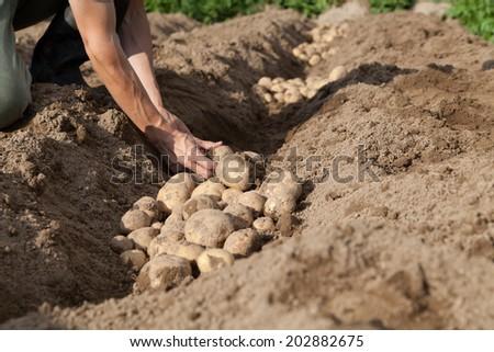 man picking potato in the vegetable garden - stock photo