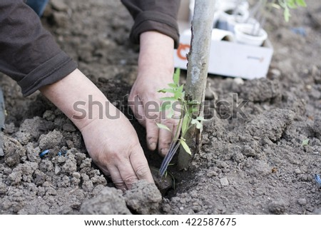 Man planting tomato seedling from plastic cup