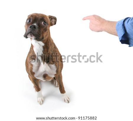 Man Pointing finger at Boxer Dog with Worried Look on Face - stock photo