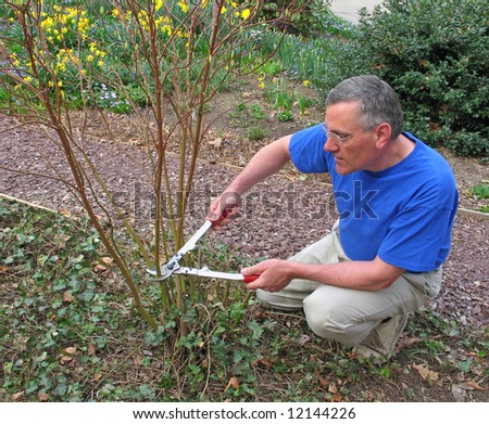 Man pruning red twig dogwood bush - stock photo