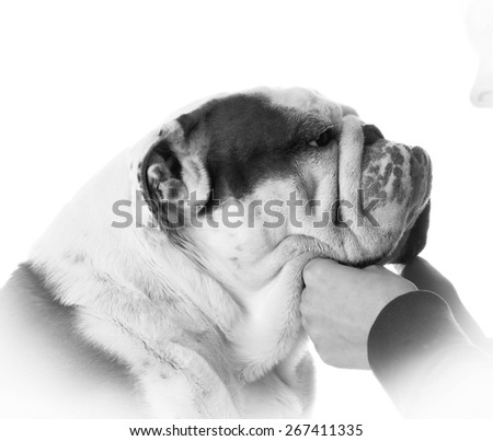man's best friend - woman holding bulldogs face on white background - stock photo