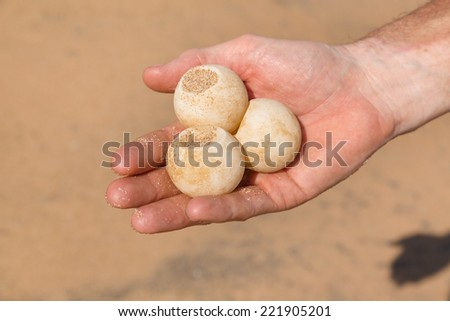Man's hand holding three turtle eggs at Sea Turtle Farm and Hatchery in Sri Lanka. - stock photo