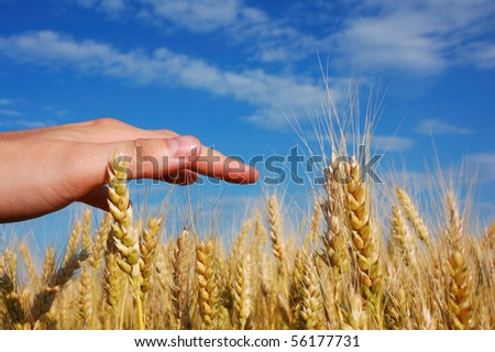 Man's hand on corn field and sky with clouds - stock photo
