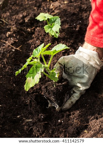 man's hand planting newborn pumpkin plant in the ground