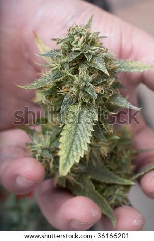 Man's hands holding fresh grown marijuana female bud - stock photo