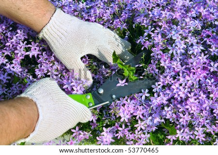 Man's hands in gloves cutting weeds in purple flowers. - stock photo
