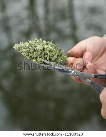 Man's hands trimming marijuana bud with scissors - stock photo