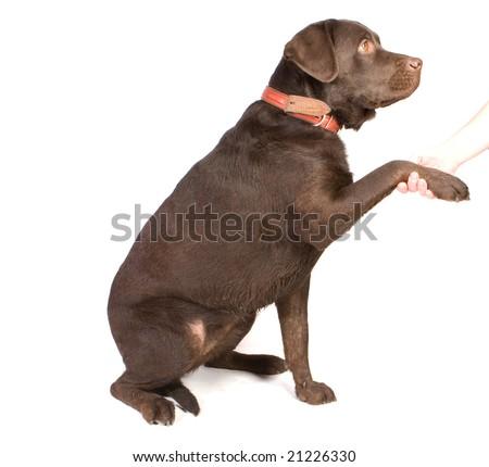 Man shaking paw to brown labrador - stock photo