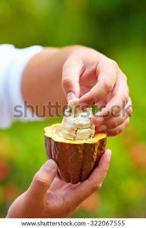 man tests ripe cocoa beans inside a pod - stock photo